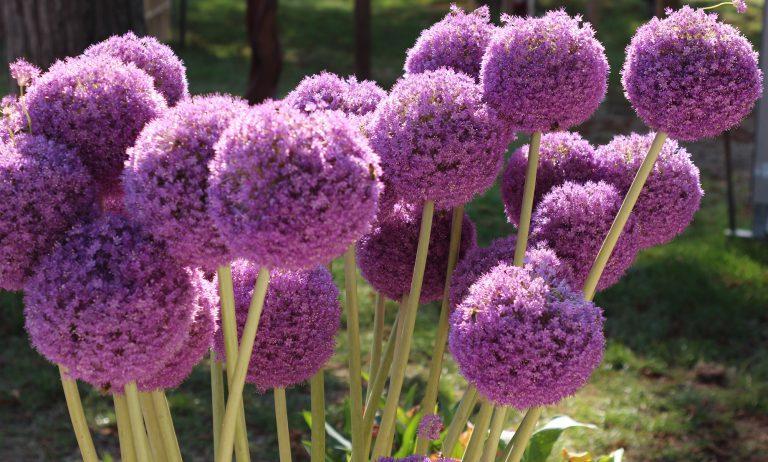 Lila Pflanze
